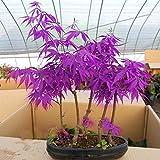 Egrow 40 Stücke Lila Ahorn Samen Seltene Farbe Schöne Lila Ghost Bonsai Pflanzen Bäume