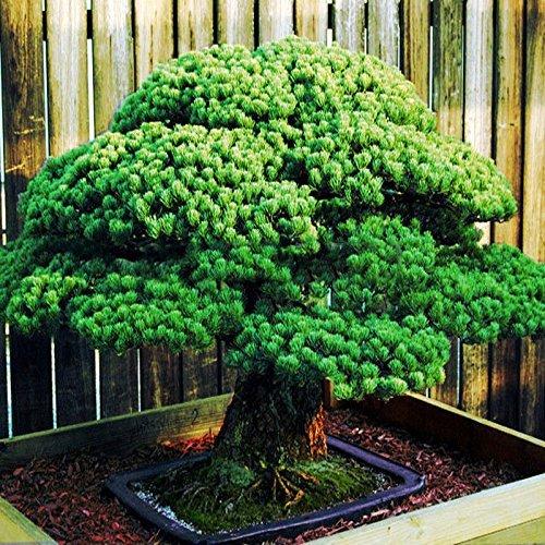 50 Stück Weiß Fichte Kiefer, Pinus parviflora, Baum Samen Bonsai