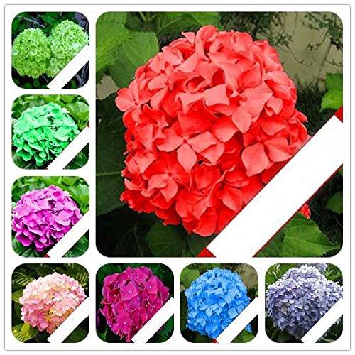 20 graines / paquet de graines bonsaï géranium Fleur hortensia fleur long bois livre guelder