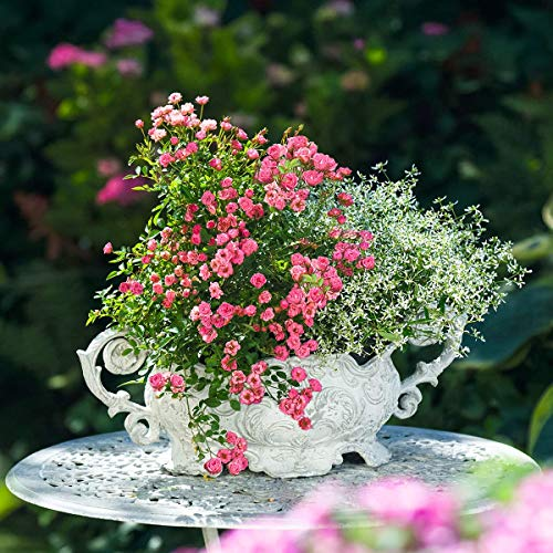 Rose Blumen Samen