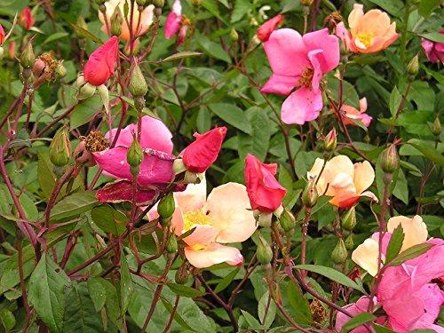 China Semillas de rosas - Rosa chinensis
