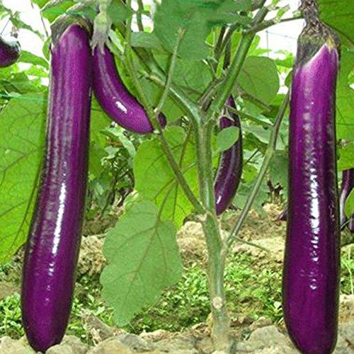 Rosepoem Geeignet für Farm- oder Hauspflanzen Lange purpurrote Auberginen-Samen hohe Produktion 150 Stück
