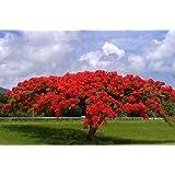 Flamboyant árbol de llama, Delonix regia, Royal Ponciana 20 semillas