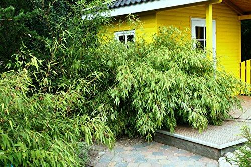 Bambus Fargesia Rufa Winterhart Immergrun Und Schnell Wachsend 30