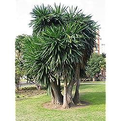 Riesen Yucca - Yucca elephantipes 'Puck' - verschiedene Größen (100-120cm - Topf Ø 28cm - 10Ltr.)