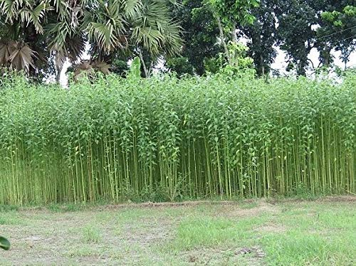 Portal Cool 100 Samen: Corchorus capsularis 20/100 Samen, Weißer Jute Herb, Annual Mehrjährige Pflanzen