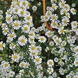 Foerster-Staude Myrten-Aster Schneetanne im 3er-Set weiß blühend Beetstaude winterhart Aster ericoides im 0,5 Liter Topf 3 Pflanzen