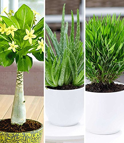 BALDUR-Garten Zimmerpflanzen-Mix'Exotisch', 3 Pflanzen je 1 Pflanze Hawaii-Palme, Aloe Vera und Zimmerbambus