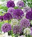 BALDUR-Garten Zierlauch Allium-Mix 'Big Head', 12 Zwiebeln von Baldur-Garten bei Du und dein Garten