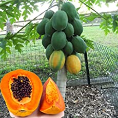 Creative Farmer Organic Dwarf Hovey Papaya Tree Seeds Rare Delicious Fruit Plant Papaya Potted Bonsai Suitable Fruit Seeds Garden Pack
