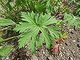 Portal Cool 1 (1 Pflanze): Geranium pratense 'Eibisch' New Variety 9cm Topf Bitte lesen Beschreibung