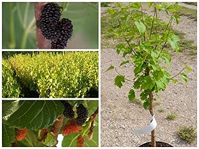 Schwarze Maulbeere Maulbeerbaum Morus nigra, ca. 60-80 cm im 3 Liter Topf von Grüner Garten Shop auf Du und dein Garten