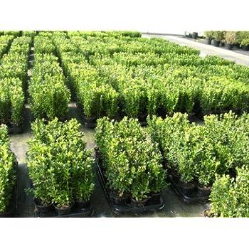 baldur garten buchsbaum hecke 5 pflanzen buxus sempervirens garten. Black Bedroom Furniture Sets. Home Design Ideas