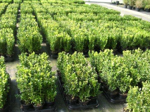 100 Buchsbaum Pflanzen im Topf, Buxus sempervirens, Höhe: 10-15 cm