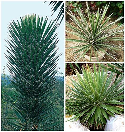 Portal Cool Yucca Filifera 50 Samen, Samen Sukkulenten S