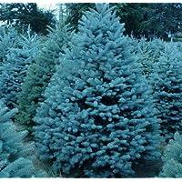 Semillas Semillas Bonsai azul Abeto Picea pungens Árbol de hoja perenne 100 partículas / bolso 2