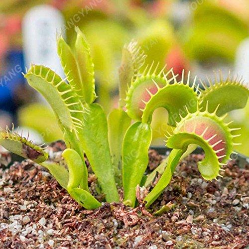 50 Pcs Jardin Plante en pot Flytrap Graine Bonsai Dionaea géant Graines clip Dionée Plante carnivore plante les graines vertes