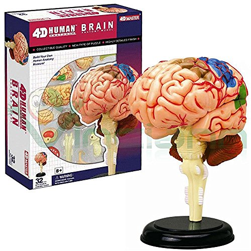 Modelo 3D de la estructura del cerebro humano anatomía humana maestro medicina