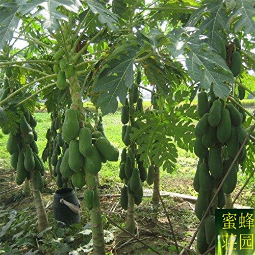 papaye rouge quatre saisons graines de papaye 20 graines