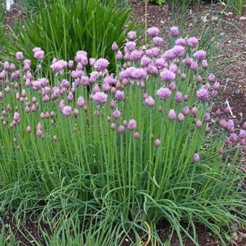 300 Samen mittelröhriger Schnittlauch – Allium schoenoprasum, ganzjähriger Anbau