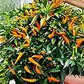 """Gartenbau Friedrich Paprika """"Volante® Mild Orange"""" Hänge-Paprika im 10,5er Topf für den heimischen Gemüsegarten oder Balkon von Gartenbau Friedrich bei Du und dein Garten"""