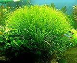 Blyxa Japonica - Live Aquarium Plants ...