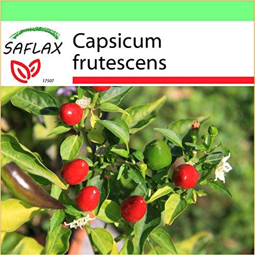 SAFLAX - Jardin dans la boîte - Piment Red Finger - 25 graines - Capsicum frutescens