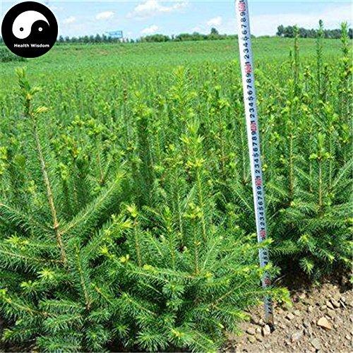 Kaufen Borsten-Fichte Tanne Samen 60pcs Pflanze Spruce Tree Chinese Yun Shan