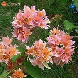 Neue Echt blühende Pflanzen Gelb Bougainvillea spectabilis Willd Bonsai Bougainvillea-Pflanzen-Samen 100 Partikel / lot