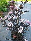 schwarzlaubiger Holunder Sambucus nigra Black Lace 80 -100 cm hoch Solitär im 12 Liter Pflanzcontainer