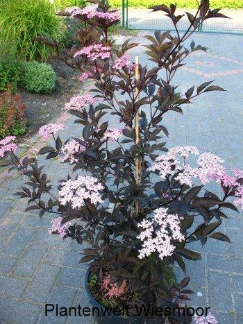 schwarzlaubiger Holunder Sambucus nigra Black Lace 60 - 80 cm hoch im 5 Liter Pflanzcontainer