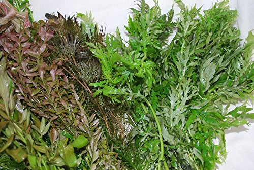 50 Bunched & Weighted Live Aquarium Plants - Aquatic Plants for your fish tank 3