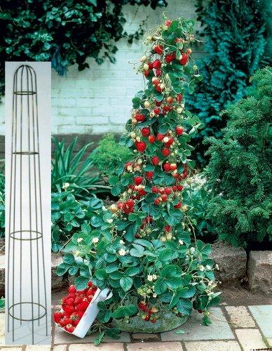 Erdbeer-Bäumchen Aromastar. 5 Stück plus Metall-Ranksäule 80cm - zu dem Artikel bekommen Sie gratis ein Paar Handschuhe für die Gartenarbeit dazu