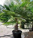 Trachycarpus Wagnerianus 180 cm. Frosthärteste Palme der Welt Bis - 17 Grad