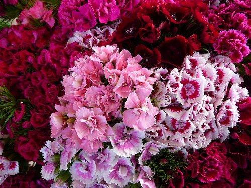 500 Mischfarben SWEET WILLIAM Dianthus Barbatus Blumensamen -