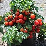 10 Samen Tiny Tim Tomate – gutes Tomatenaroma, hoher Ertrag