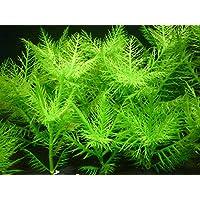 Hygrophila balsamica Broadleaf - x1 Bunch - Plantas Naturales para acuarios