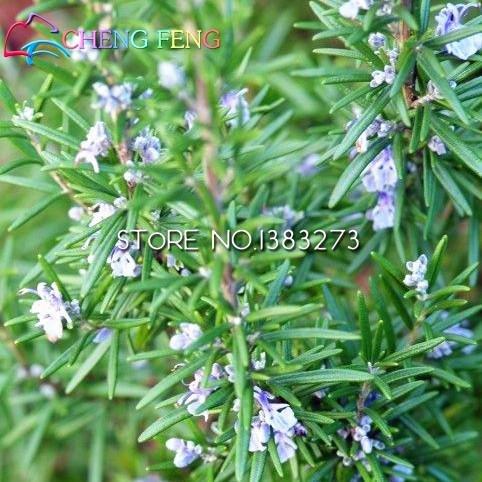 100 piante di rosmarino semi giardino di diy facile da coltivare erbe erba di verdure sano seme bonsai fiore una casa jardin regalo flores pentole
