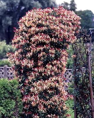 Jelängerjelieber, Lonicera brownii Dropmore Scarlet®, 1 Pflanze von Amazon.de Pflanzenservice bei Du und dein Garten