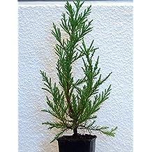 Seedeo Berg - Mammutbaum (Sequoia. gigantea) Pflanze 2 Jahre