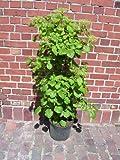 Kletter-Hortensie, Höhe: 130 cm, Hydrangea petiolaris, Kletterhortensie + Dünger
