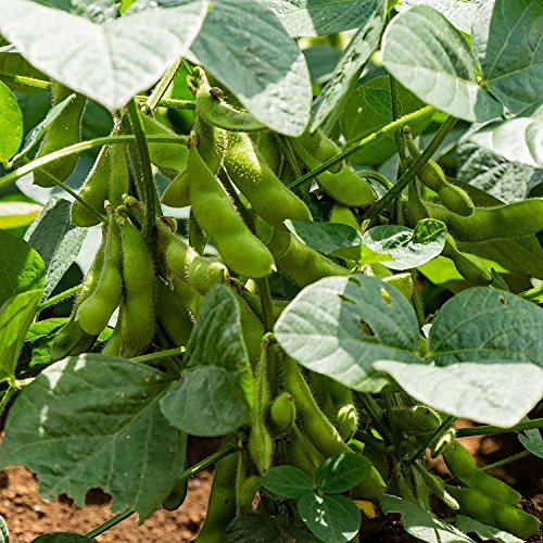 1 Lb Pouch : BeSweet 2001 Edamame Bean Seeds – 1 Lbs – Non-GMO, Heirloom Be Sweet Soybean Seeds – Soy Vegetable Garden Seeds