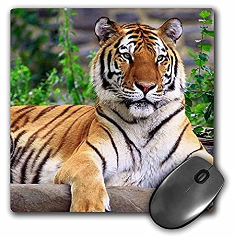 3dRose LLC 8 x 8 x 0.25 Inches Mouse Pad, Siberian Tiger (mp_3132_1)