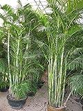 Dypsis lutescens, Goldfruchtpalme, schnellwüchsige Zimmerpalme, 10 Samen