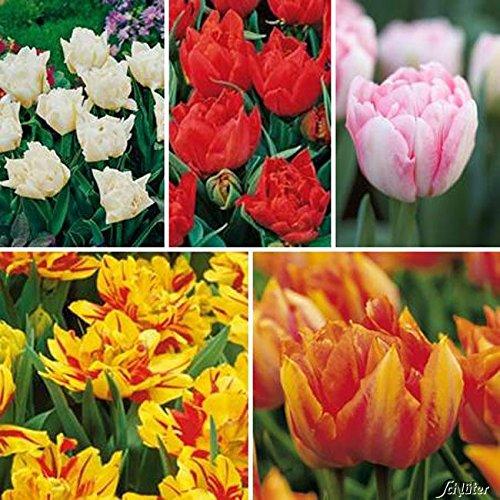 Tulpenzwiebeln Sortiment in 5 Sorten 5 Farben - Blumenzwiebeln, mehrjährig & robust- Frühe Tulpe Sortiment in 5 Sorten - 35 Tulpen-Zwiebeln von Garten Schlüter - Pflanzen in Top Qualität
