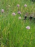 Allium schoenoprasum - Schnittlauch, 6 Pflanzen