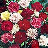 Flower Seeds : Dianthus Grenadin Mix Flower Seeds – Kitchen Garden Pack by Creative Farmer