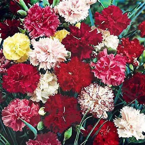 Flower Seeds : Dianthus Grenadin Mix Flower Seeds – Kitchen Garden Pack by Creative Farmer