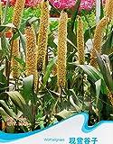 Loup herbe queue Graines Pennisetum Glaucum ornemental Millet Feuillage Plantes F010