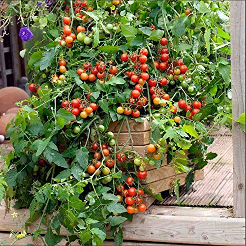 Portal Cool Suttons Seeds Tomaten Lizzano F1 'Die Tomate Bush'